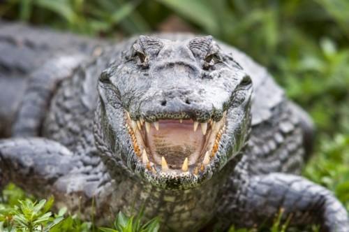 Alligator-Looking-Dangerous-1110x737.jpg