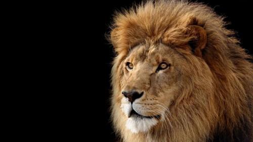 Lion-face-amazing-hd-pics-1110x62470b2cb102d35a379.jpg