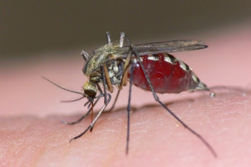 mosquito-1110x740a82994c11d5606bc.jpg