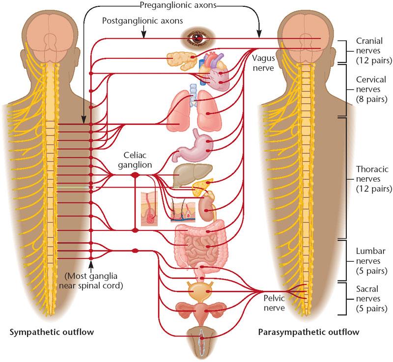 الجهاز العصبي الداتي 1415.png
