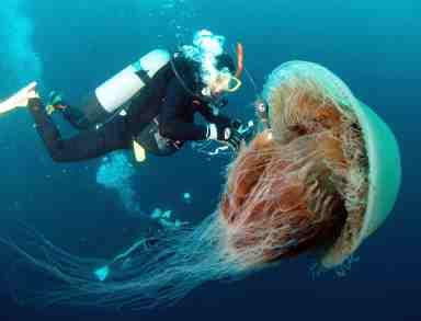 اكبر قنديل بحر