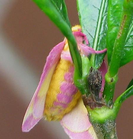حشرة روزي القيقب