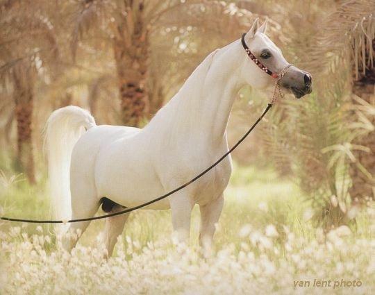 خيول عربية اصيله