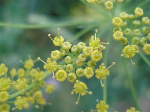 زهور الشبث