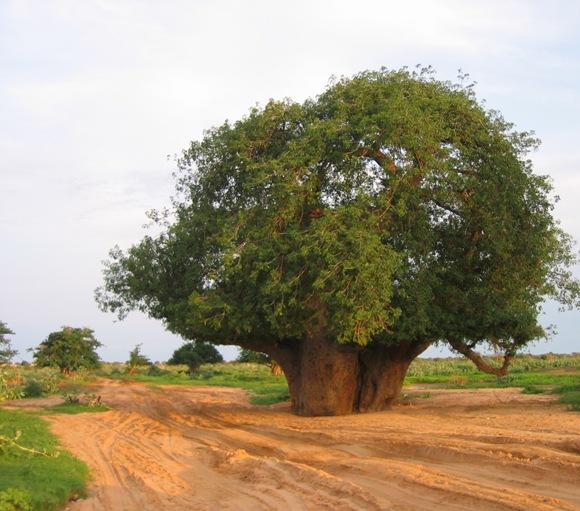 شجرة الحبحبوه