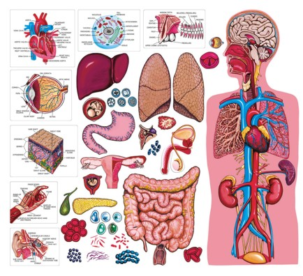 معلومات رائعة عن جسم الانسان image_1316242914_138