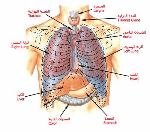 معلومات رائعة عن جسم الانسان image_1316242927_887