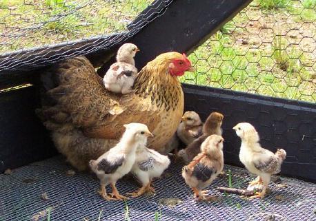 Nacido con 1 gallos