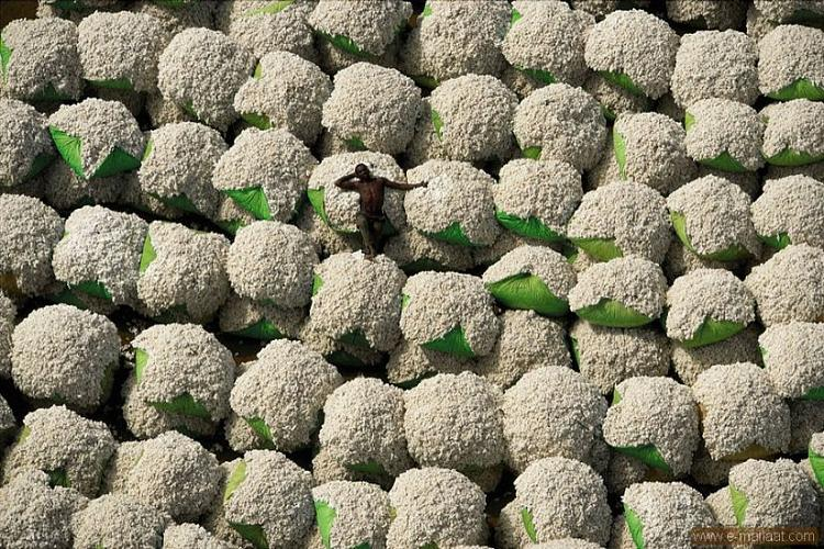 Cotton harvest in Ivory Coast
